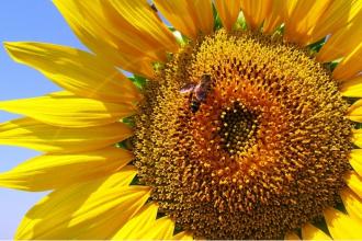 Včelí pyl a jeho příznivé účinky na zdraví