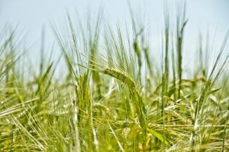 Zelený ječmen jako zdroj vitality a zdraví